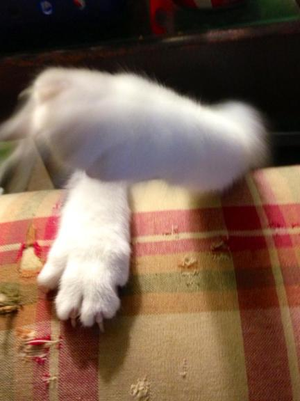 Bo the Kitten's Paws